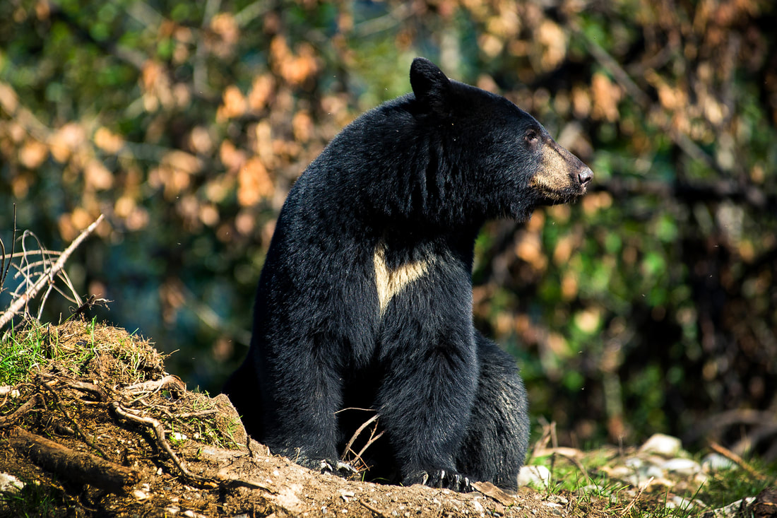 fish creek black bear