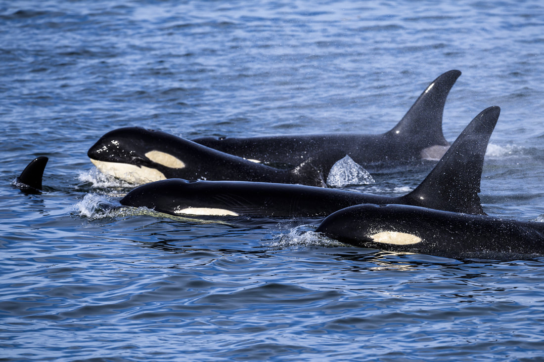 frolicking killer whales